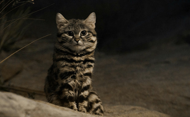 black-footed-cat-jonathan-kriz-creative-commons[1]
