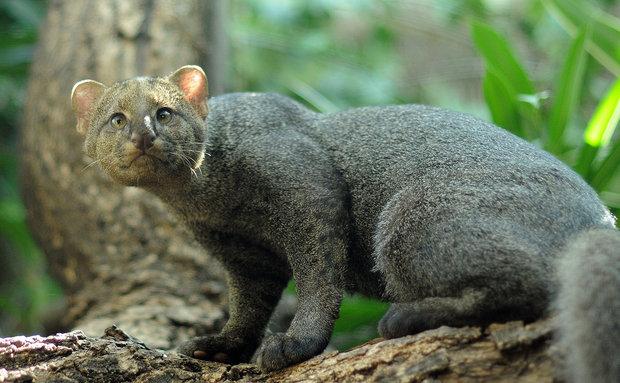 gato-mourisco-joachim-s[1]