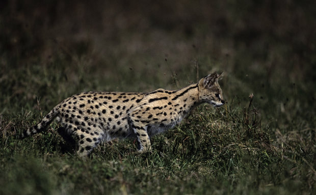 serval-anup-shah-photodisc-thinkstock[1]
