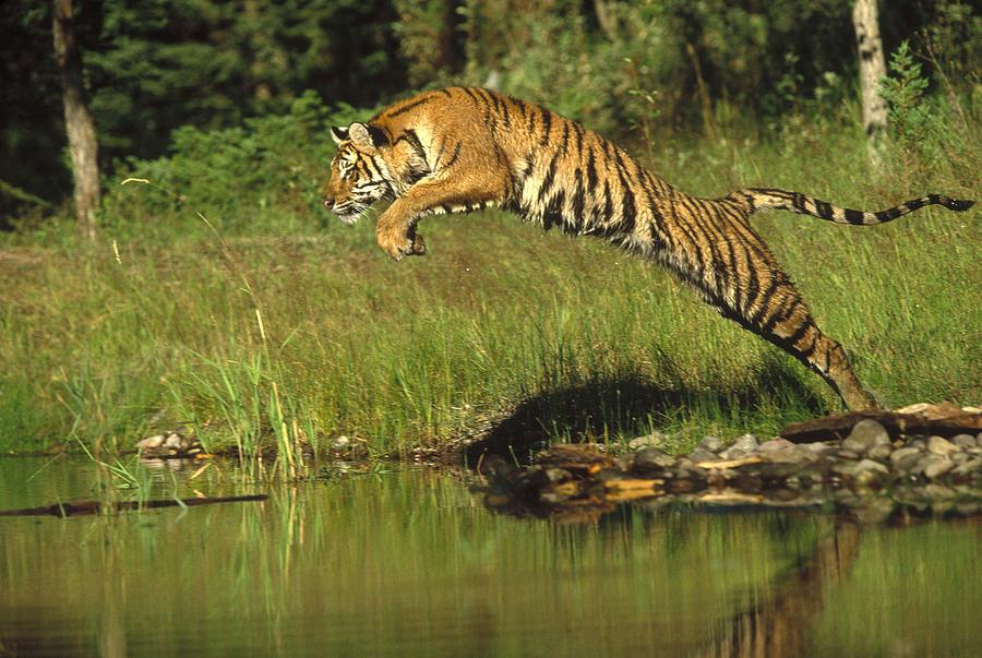 siberian-tiger-panthera-tigris-altaica-tim-fitzharris[1]
