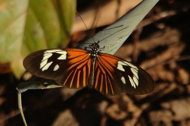 As asas-de-tigre (Heliconius sp.) se alimentam de plantas tóxicas durante a fase de lagarta. Quando se transformam em borboletas, anunciam que não são comestíveis com cores vibrantes. Algumas borboletas não são tóxicas, mas imitam esse padrão para evitar predadores