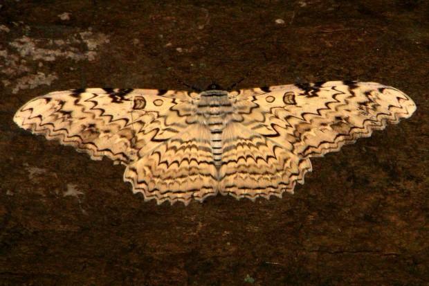 Com 30 centímetros de envergadura, a mariposa-imperial (Thysania sp.) é a maior mariposa do mundo