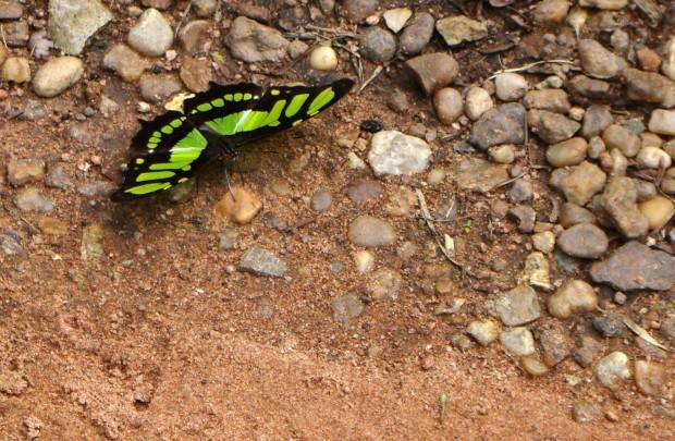 Borboleta do gênero Siproeta na região do rio Cristalino, Amazônia