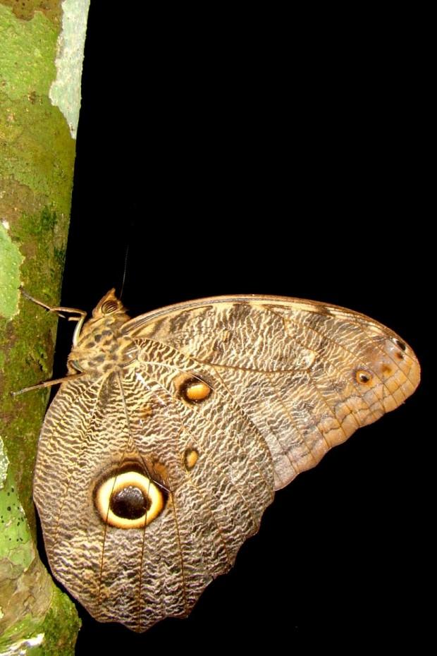 Círculos nas asas das borboletas-coruja (Caligo sp.) se parecem com os olhos de uma coruja e assustam potenciais predadores