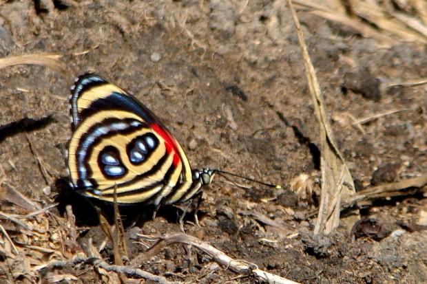 As borboleta do gênero Callicore apresentam um padrão gráfico na parte de baixo das asas que lembram números ou letras do alfabeto. Infelizmente, devido à sua beleza, esses insetos são mortos para serem utilizadas na confecção de bijuterias