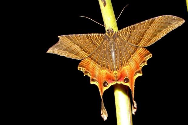 Mariposa na região do rio Cristalino, Amazônia