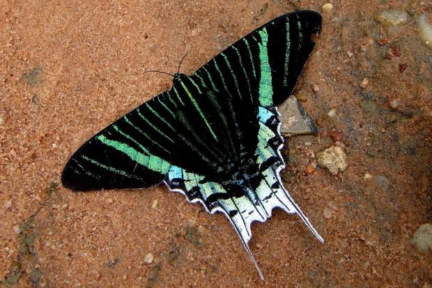 Algumas mariposas podem ser parecidas com borboletas. Essa, do gênero Urania, é diurna e possui cores vibrantes