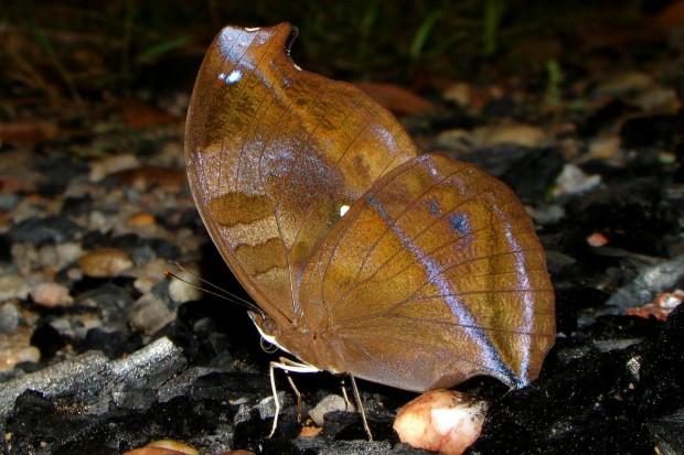 A borboleta do gênero Napeocles fica extremamente bem camuflada no chão de folhas secas da Floresta Amazônica