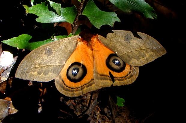 Algumas mariposas revelam asas coloridas quando se sentem ameaçadas. A intenção é assustar um possível predador