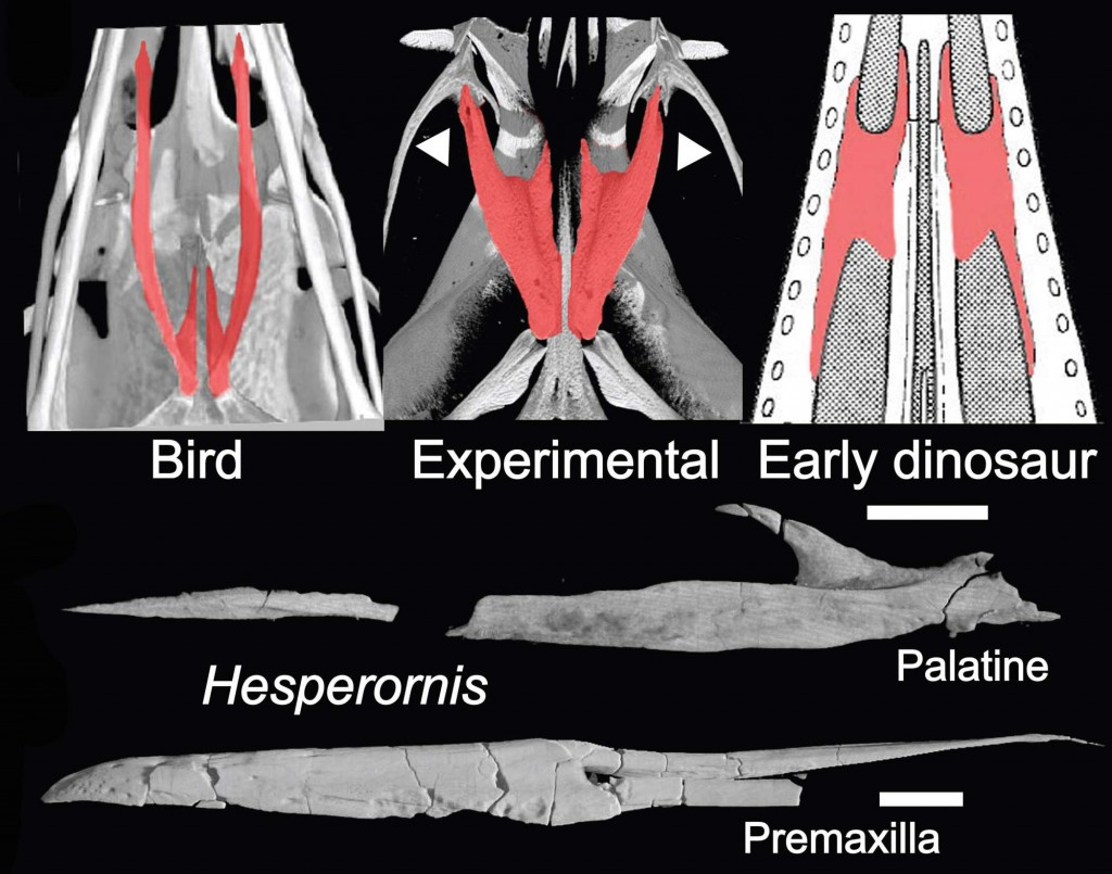 three_palate_and_hesperornis_image[1]