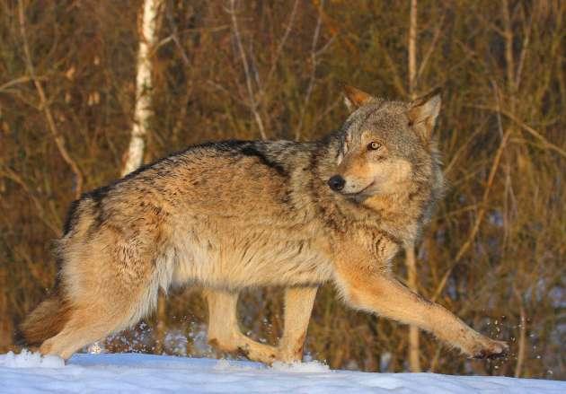 Lobo, em Chernobyl