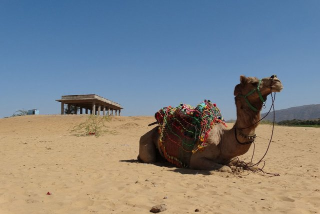 Camel in Indian desert