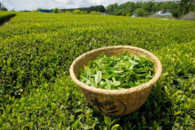 Curiouskeeda - Green Tea - 3