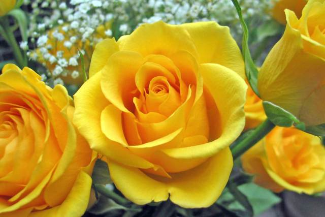 yellow rose- bright and cheerful