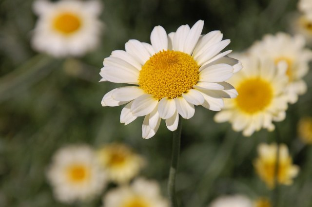 Daisies hd images