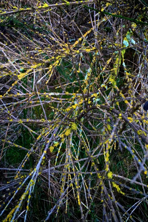 Winter broom with lichen like blooms 2015 01 21IMG 3244IMG 3244  Version 2