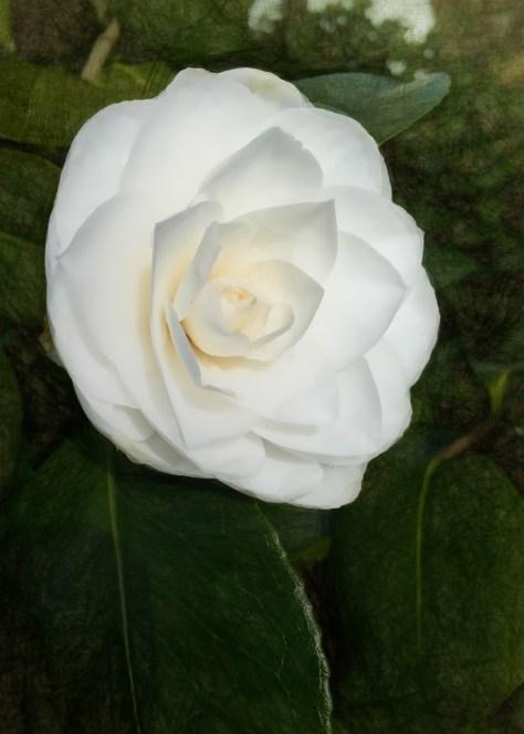 pure white camelia blossom 2015-03-14IMG_4193IMG_4193