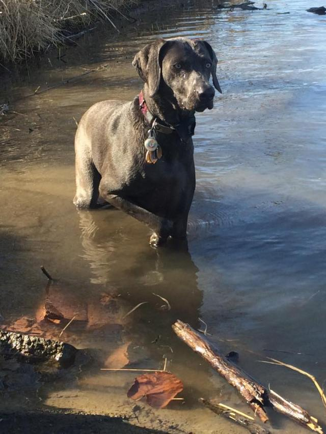 Curious Weims LOVE the water