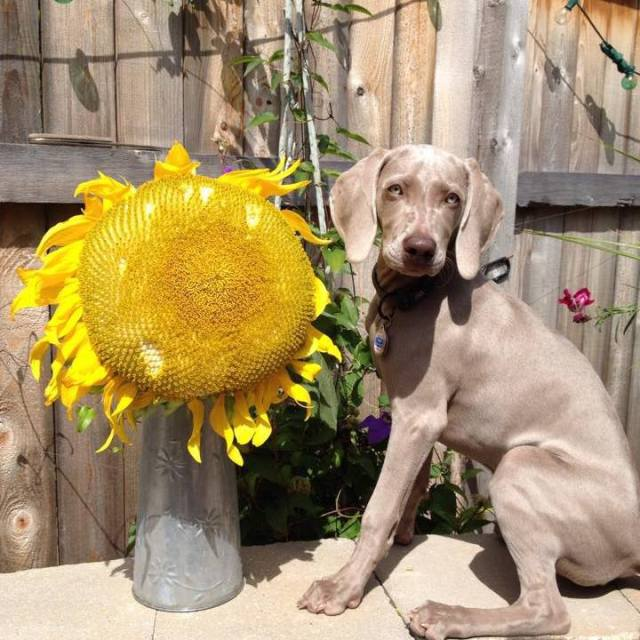 Curious Weim and a beautiful sunflower