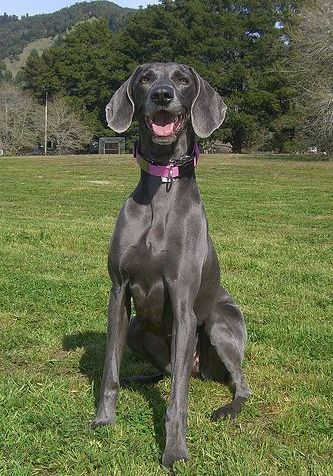 Curious Weims - Beautifully Bred AKC Weimaraner Puppies - Peoria, IL