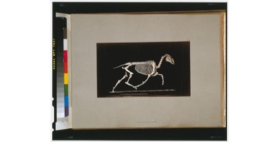 Esqueleto de un caballo al trote. Foto de 1881, de Eadweard Muybridge