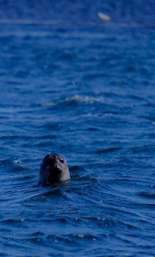 Les phoques à Ytri Tunga