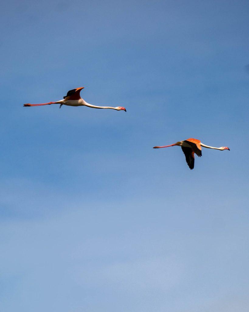 Flamants Rose - Parc ornithologique - Camargue - curlwildfree - edit-2-min