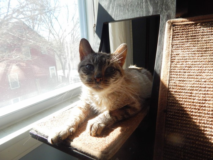 My cat, Oli, laying in the sun on her cat tree after seeing the vet