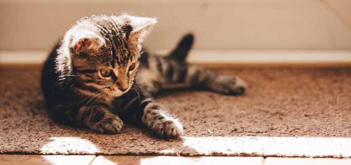 a kitten laying on a rug