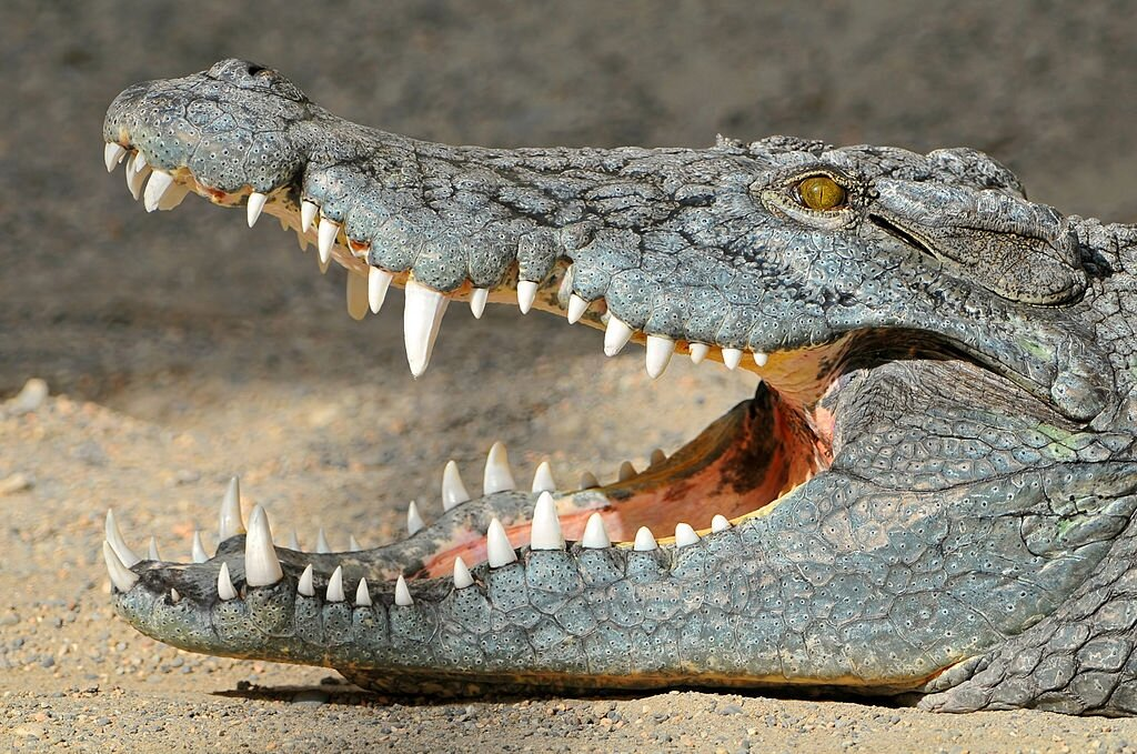 10 Significant Differences Between Alligator And Crocodile