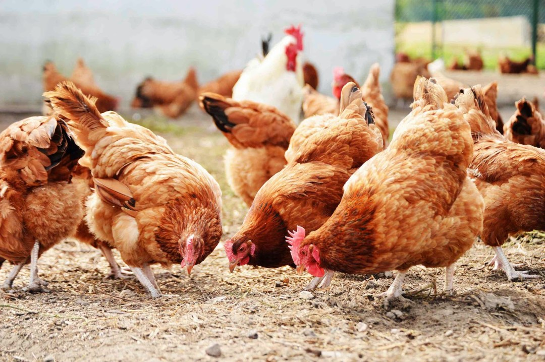 Best Way to Start Lucrative Poultry Farming in Nigeria 2021 Update