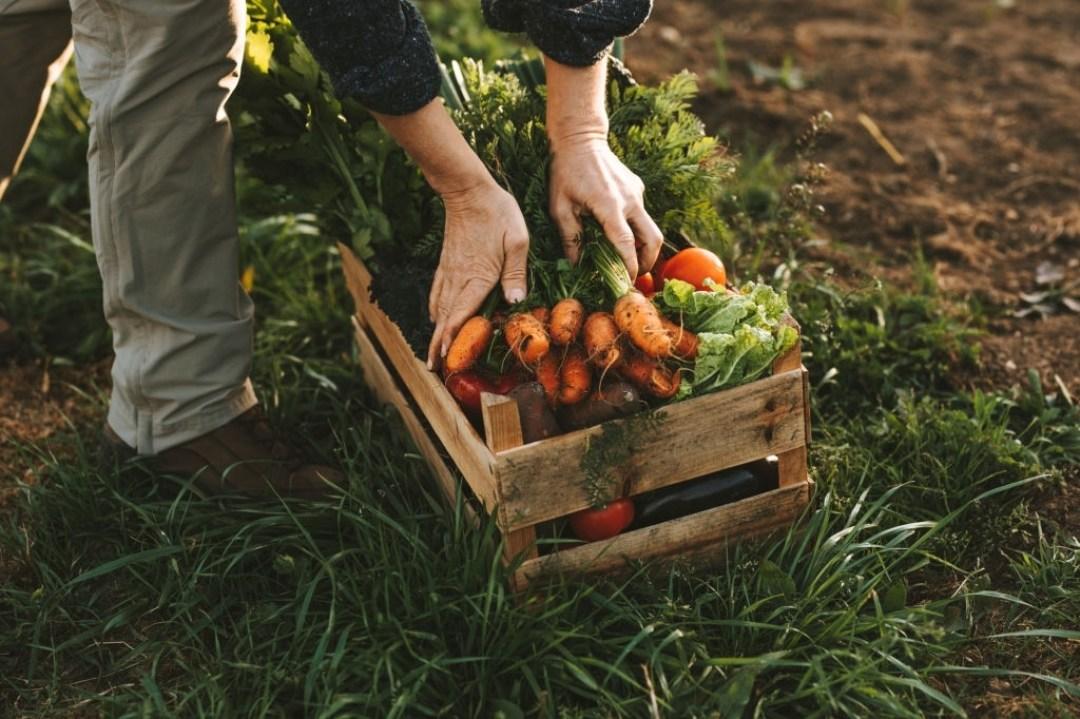 Man Harvesting Carrots