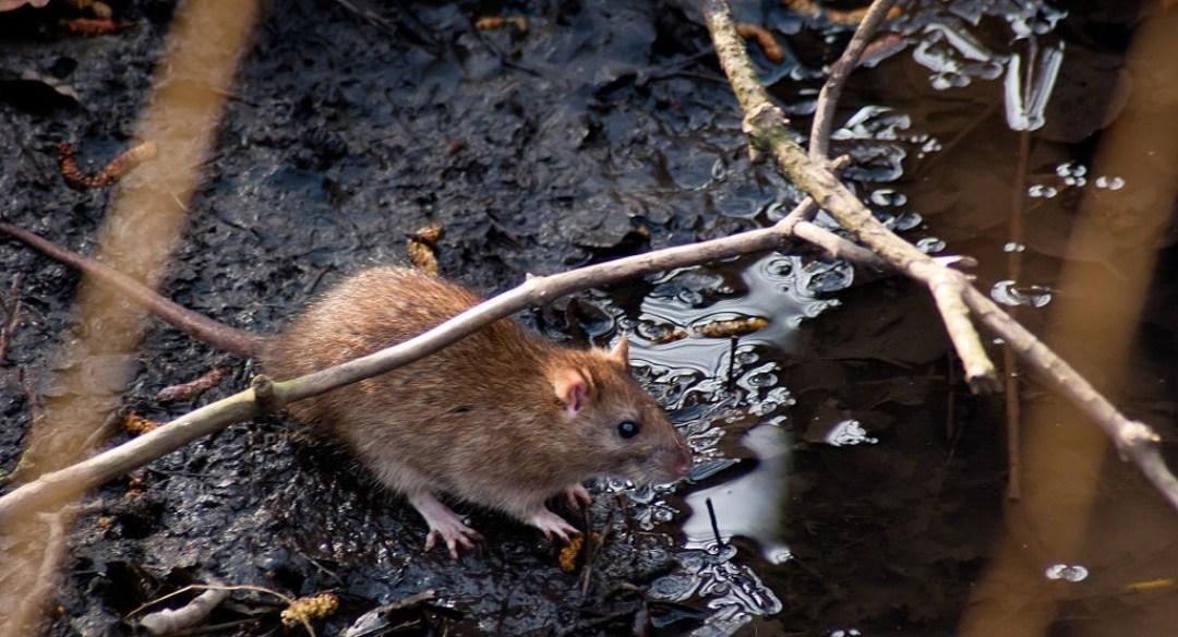 Природные и биологические агенты, которые можно использовать для избавления от крыс в домашних условиях