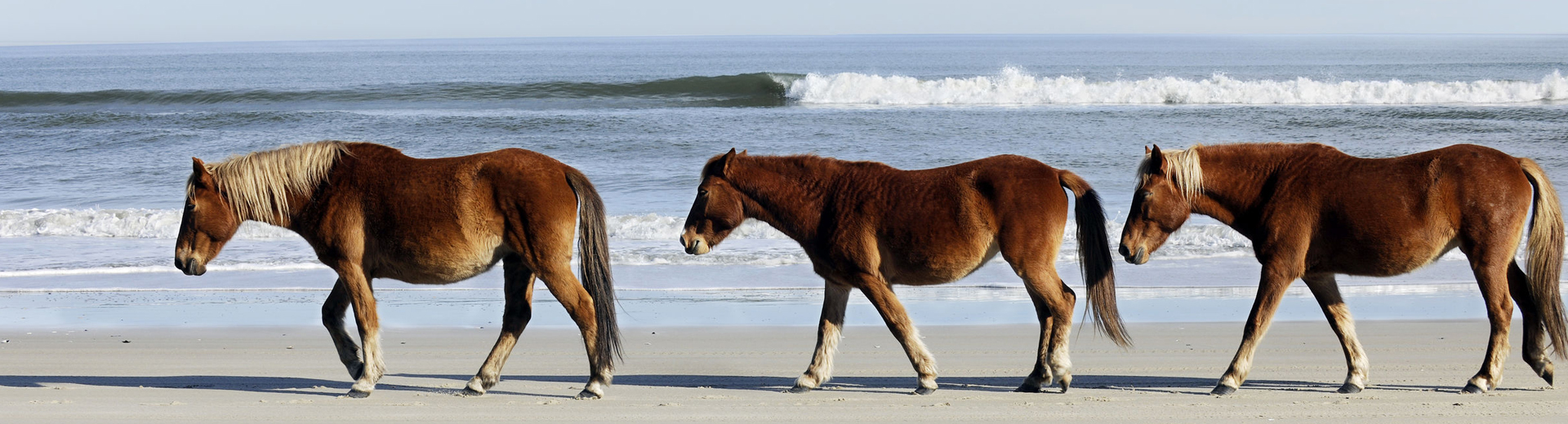 wild horses at corolla beach