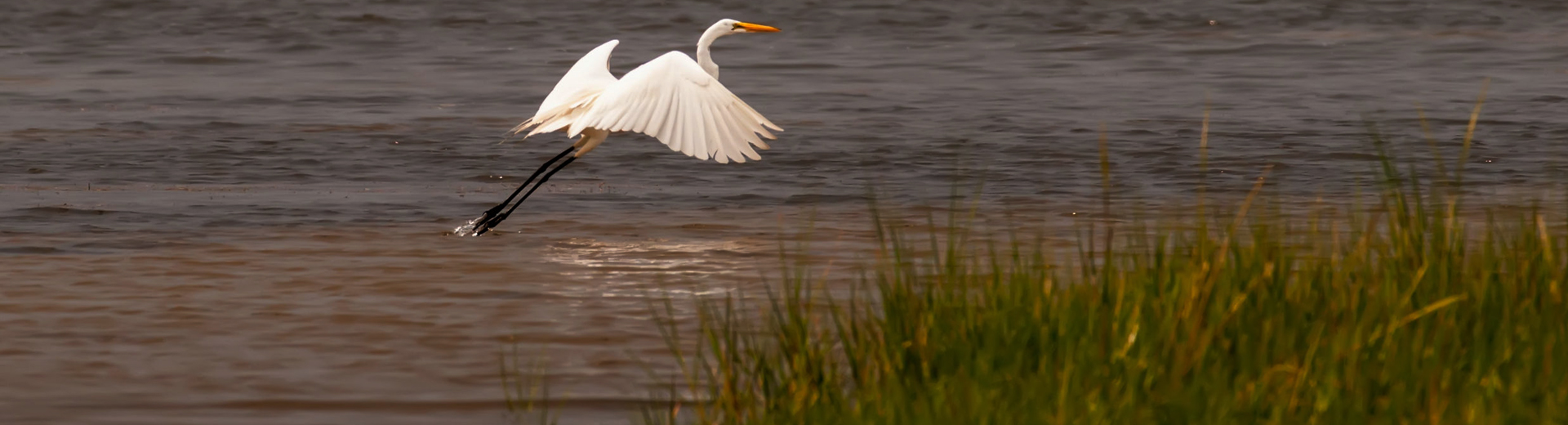 egret in outer banks