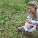 oogsten saffraan