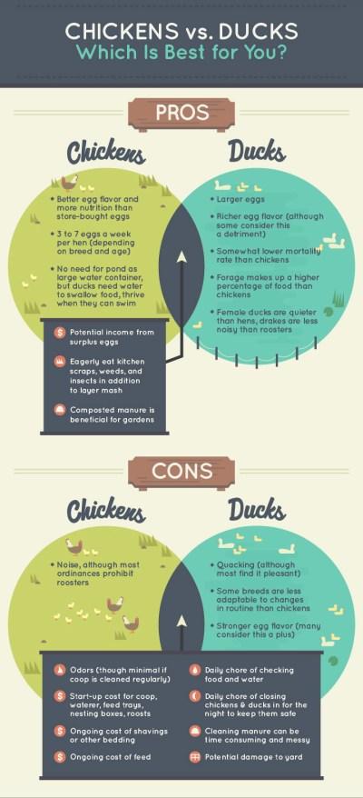 Chickens vs Ducks
