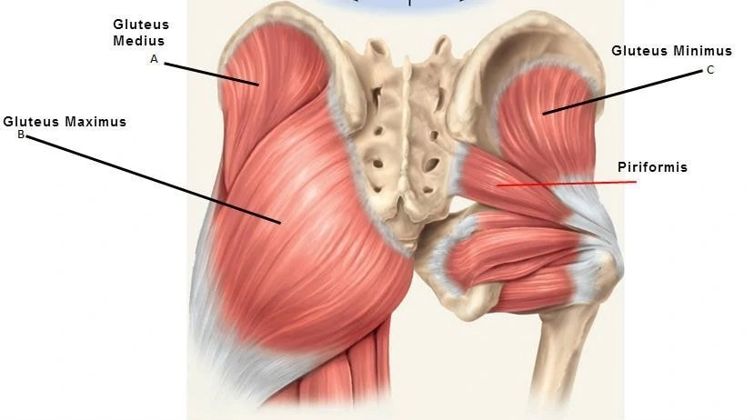 Gluteus Medius:  Learn Your Muscles