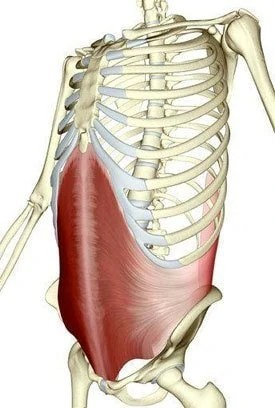 Transverse Abdominis:  Learn Your Muscles