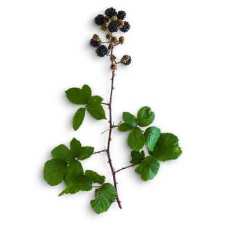 item-cover-blackberries-and-leaves-1