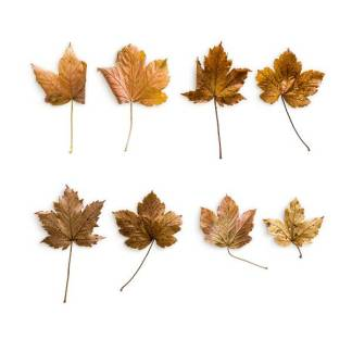 item-cover-maple-1-leaves-pack