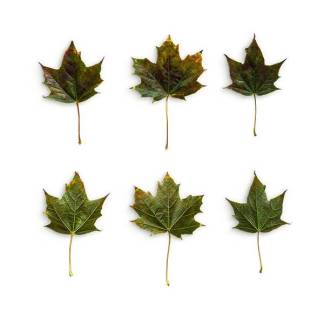 item-cover-maple-3-leaves-pack