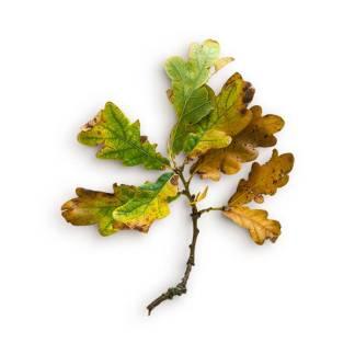 item-cover-oak-stick-leaves-2