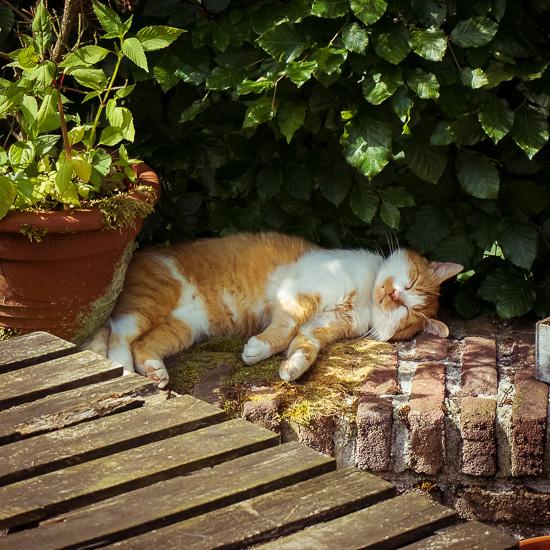 Die Rote Katze schläft am heißen Sommertagen am liebsten auf der kühlen Mauer im Schatten