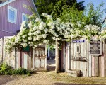 Rosen am Rosa Haus