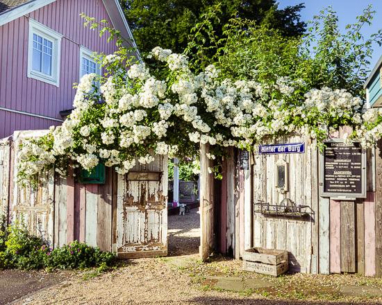 Dieses Jahr sind die Rosen bei uns am Rosa Haus besonders schön
