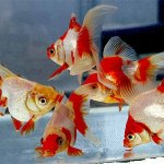 How Much to Feed Goldfish