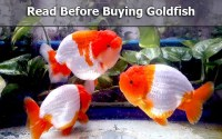 buy goldfish
