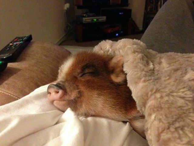 Pigs And Blankets Cuteness Overflow