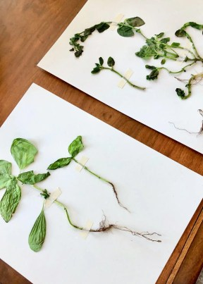 label pressed plants with common and scientific name